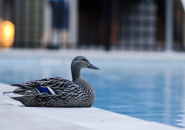 Chillin at the Pool... Mallard