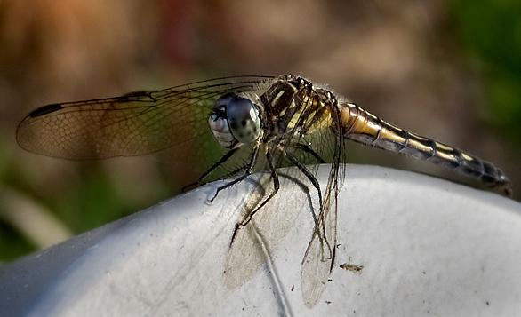 dragonfly_macro-2.jpg